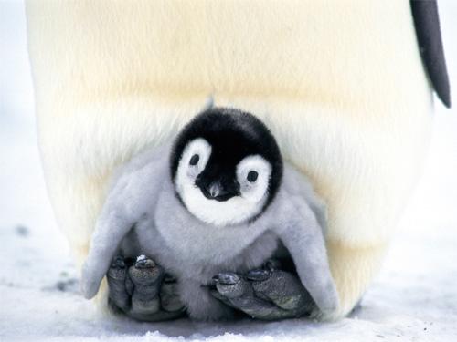 コウテイペンギンの画像 p1_25