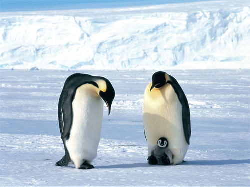 (デジタル)コウテイペンギンのしあわせ