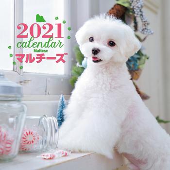 2021年 大判カレンダー マルチーズ